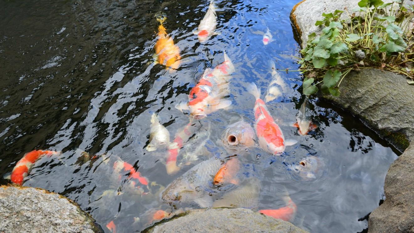 """""""Šios žuvys pildo norus – paglostykite jas ir jūsų svajonė išsipildys"""", – sako K. Ptakauskas."""
